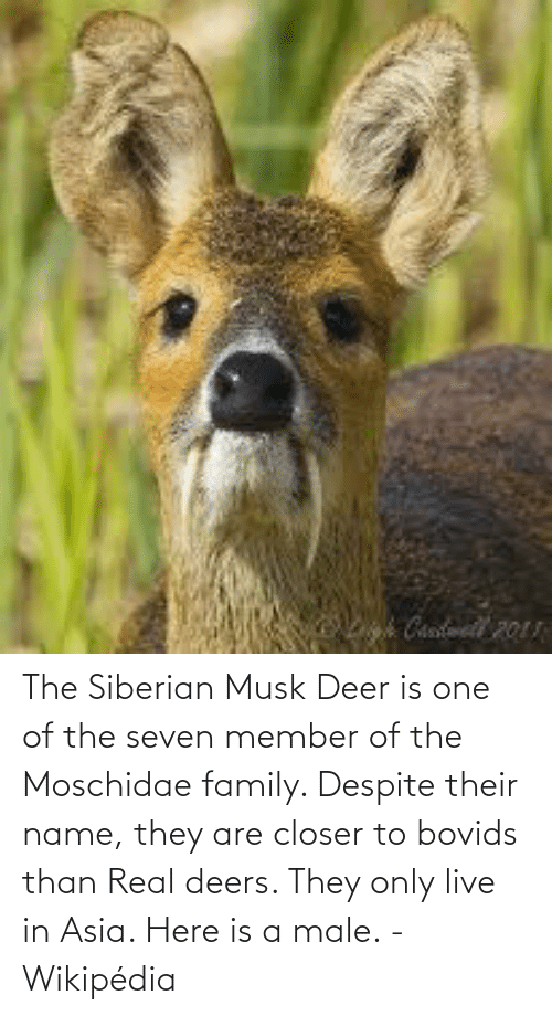 Deer: The Siberian Musk Deer is one of the seven member of the Moschidae family. Despite their name, they are closer to bovids than Real deers. They only live in Asia. Here is a male. - Wikipédia