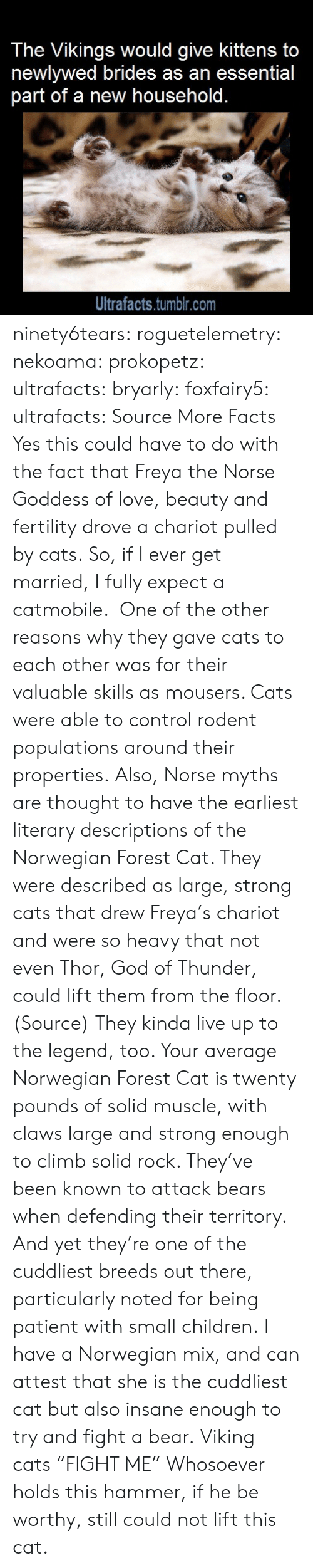 "myths: The Vikings would give kittens to  newlywed brides as an essential  part of a new household.  Ultrafacts.tumblr.com ninety6tears:  roguetelemetry:   nekoama:   prokopetz:   ultrafacts:  bryarly:  foxfairy5:  ultrafacts:  Source More Facts  Yes this could have to do with the fact that Freya the Norse Goddess of love, beauty and fertility drove a chariot pulled by cats.  So, if I ever get married, I fully expect a catmobile.   One of the other reasons why they gave cats to each other was for their valuable skills as mousers. Cats were able to control rodent populations around their properties. Also, Norse myths are thought to have the earliest literary descriptions of the Norwegian Forest Cat. They were described as large, strong cats that drew Freya's chariot and were so heavy that not even Thor, God of Thunder, could lift them from the floor. (Source)  They kinda live up to the legend, too. Your average Norwegian Forest Cat is twenty pounds of solid muscle, with claws large and strong enough to climb solid rock. They've been known to attack bears when defending their territory. And yet they're one of the cuddliest breeds out there, particularly noted for being patient with small children.   I have a Norwegian mix, and can attest that she is the cuddliest cat but also insane enough to try and fight a bear.   Viking cats ""FIGHT ME""   Whosoever holds this hammer, if he be worthy, still could not lift this cat."