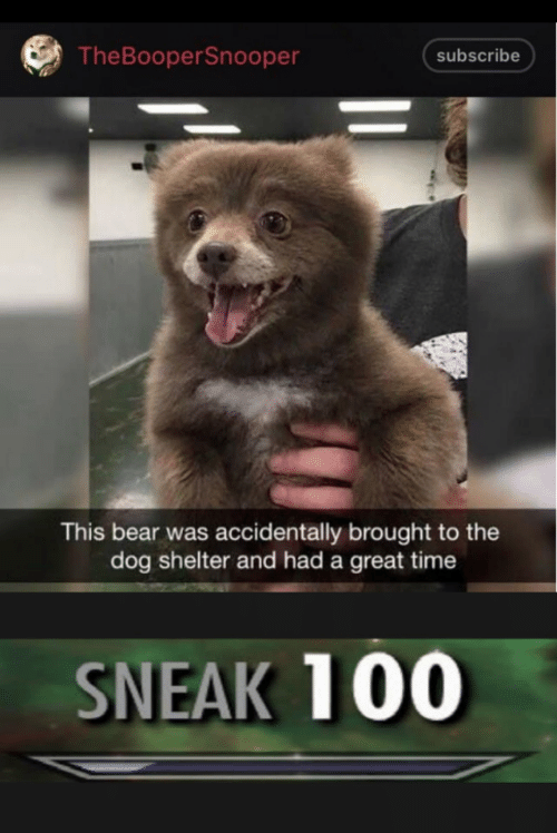 Bear, Time, and Dog: TheBooperSnooper  subscribe  This bear was accidentally brought to the  dog shelter and had a great time  SNEAK 100