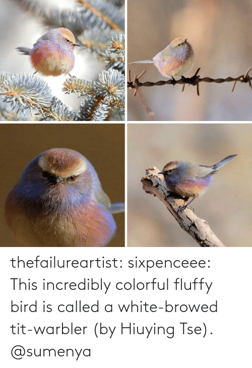 Incredibly: thefailureartist: sixpenceee: This incredibly colorful fluffy bird is called a white-browed tit-warbler (by Hiuying Tse).  @sumenya