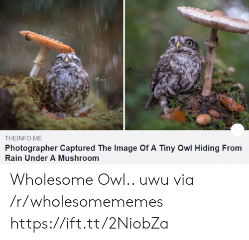 Image, Rain, and Wholesome: THEINFO ME  Photographer Captured The Image Of A Tiny Owl Hiding From  Rain Under A Mushroom Wholesome Owl.. uwu via /r/wholesomememes https://ift.tt/2NiobZa