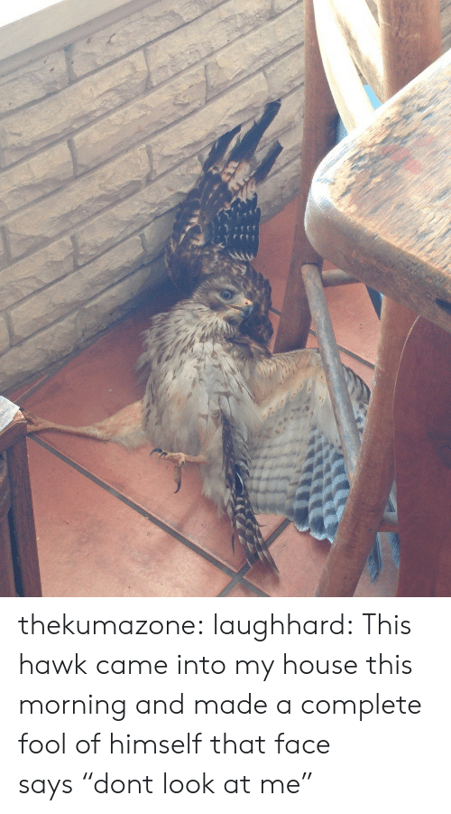 "that face: thekumazone:  laughhard:  This hawk came into my house this morning and made a complete fool of himself  that face says ""dont look at me"""