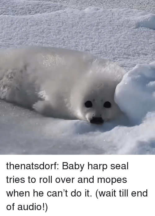 roll over: thenatsdorf:  Baby harp seal tries to roll over and mopes when he can't do it. (wait till end of audio!)
