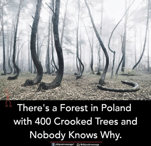 crooked: There's a Forest in Poland  with 400 Crooked Trees and  Nobody Knows Why