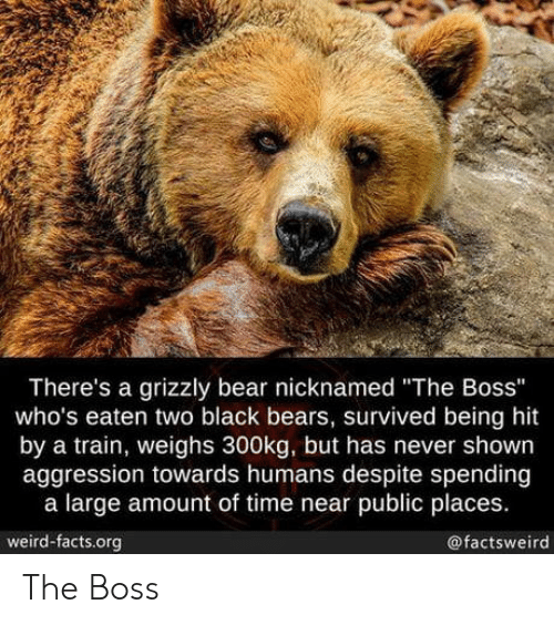 "Aggression: There's a grizzly bear nicknamed ""The Boss""  who's eaten two black bears, survived being hit  by a train, weighs 300kg, but has never shown  aggression towards humans despite spending  a large amount of time near public places.  weird-facts.org  @factsweird The Boss"