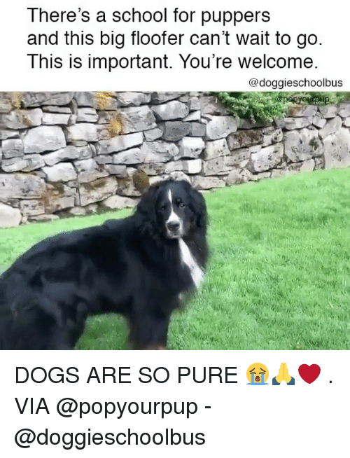 Pured: There's a school for puppers  and this big floofer can't wait to go  This is important. You're welcome  @doggieschoolbus DOGS ARE SO PURE 😭🙏❤️ . VIA @popyourpup - @doggieschoolbus