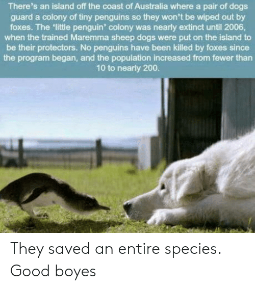 bailey jay: There's an island off the coast of Australia where a pair of dogs  guard a colony of tiny penguins so they won't be wiped out by  foxes. The little penguin' colony was nearly extinct until 2006  when the trained Maremma sheep dogs were put on the island to  be their protectors. No penguins have been killed by foxes since  the program began, and the population increased from fewer than  10 to nearly 200 They saved an entire species. Good boyes