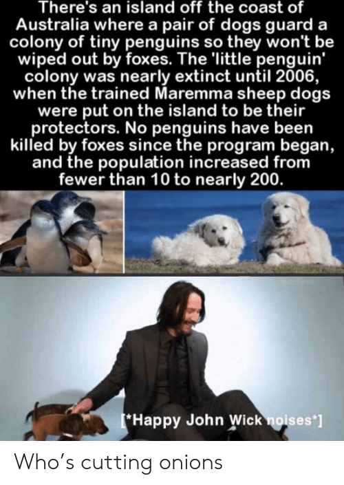 foxes: There's an island off the coast of  Australia where a pair of dogs guard a  colony of tiny penguins so they won't be  wiped out by foxes. The 'little penguin'  colony was nearly extinct until 2006,  when the trained Maremma sheep dogs  were put on the island to be their  protectors. No penguins have been  killed by foxes since the program began,  and the population increased from  fewer than 10 to nearly 200.  Happy John Wick noises'] Who's cutting onions