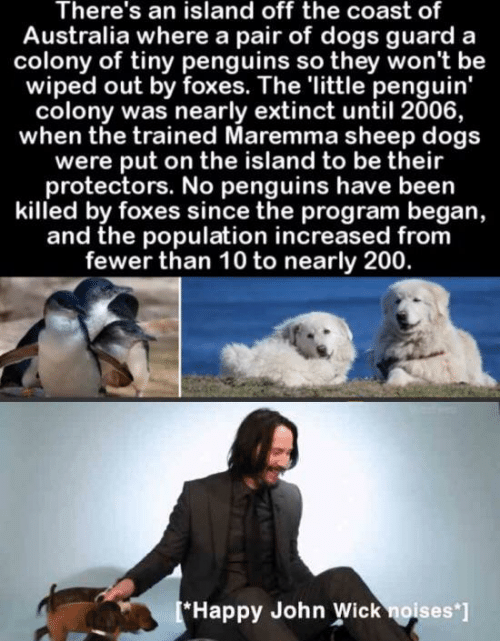 foxes: There's an island off the coast of  Australia where a pair of dogs guard  colony of tiny penguins so they won't be  wiped out by foxes. The 'little penguin'  colony was nearly extinct until 2006,  when the trained Maremma sheep dogs  were put on the island to be their  protectors. No penguins have been  killed by foxes since the program began,  and the population increased from  fewer than 10 to nearly 200.  [*Happy John Wick noises ]