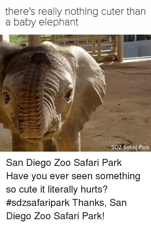 San Diego: there's really nothing cuter than  a baby elephant  SDZ Safari Park San Diego Zoo Safari Park  Have you ever seen something so cute it literally hurts? #sdzsafaripark  Thanks, San Diego Zoo Safari Park!