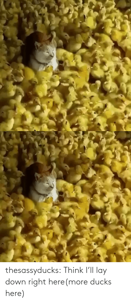 redirect: thesassyducks:  Think I'll lay down right here(more ducks here)