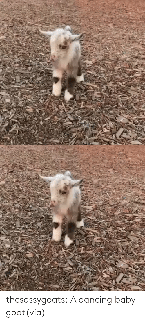 Dancing: thesassygoats:  A dancing baby goat(via)