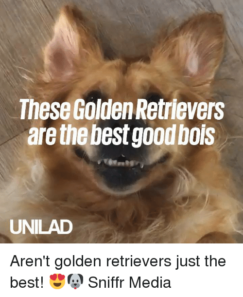 Just The Best: These Golden Retrievers  are the best good bols  UNILAD Aren't golden retrievers just the best! 😍🐶  Sniffr Media