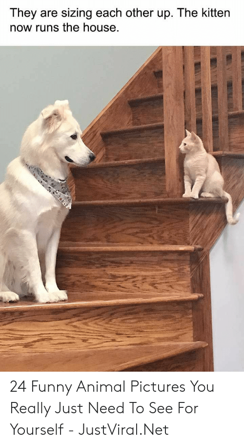 Funny, Animal, and House: They are sizing each other up. The kitten  now runs the house 24 Funny Animal Pictures You Really Just Need To See For Yourself - JustViral.Net