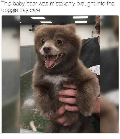Bear, Baby, and Day: This baby bear was mistakenly brought into the  doggie day care