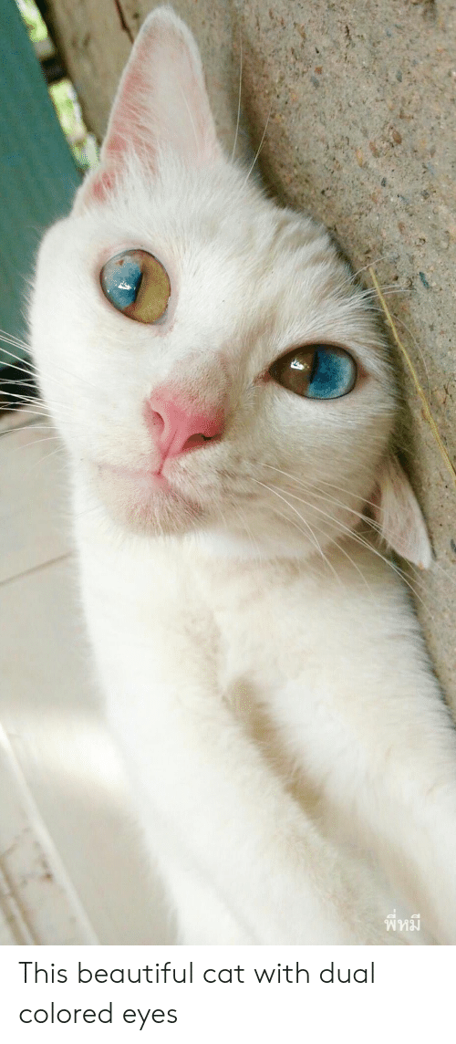 Beautiful, Cat, and Dual: This beautiful cat with dual colored eyes