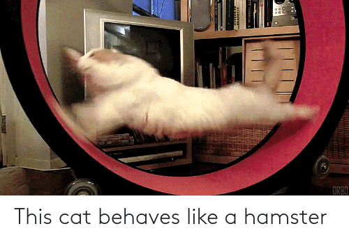 Hamster: This cat behaves like a hamster
