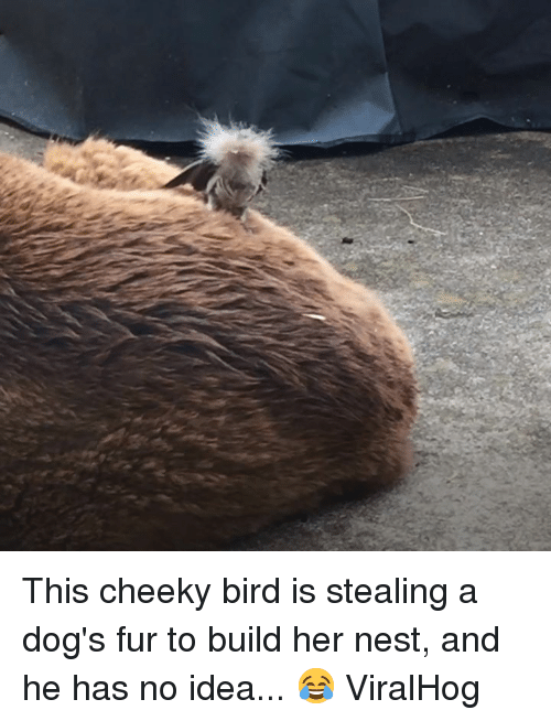 cheeky: This cheeky bird is stealing a dog's fur to build her nest, and he has no idea... 😂  ViralHog