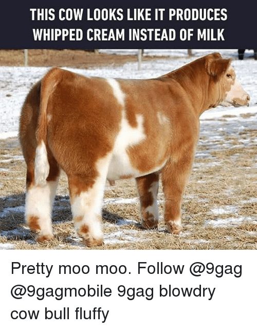 Memes, Whip, and 🤖: THIS COW LOOKS LIKE IT PRODUCES  WHIPPED CREAM INSTEAD OF MILK Pretty moo moo. Follow @9gag @9gagmobile 9gag blowdry cow bull fluffy