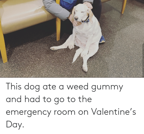 Weed: This dog ate a weed gummy and had to go to the emergency room on Valentine's Day.