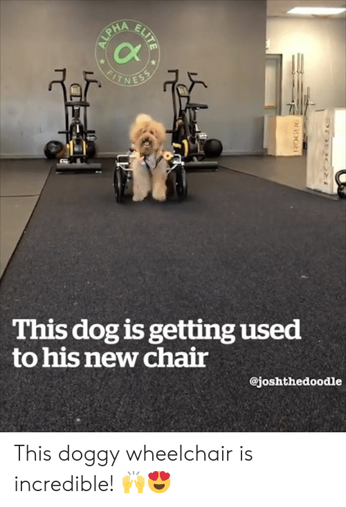 doggy: This dog is getting used  to his new chair  @joshthedoodle This doggy wheelchair is incredible! 🙌😍