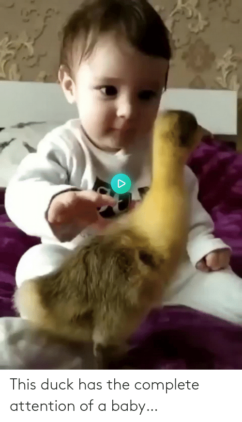 Complete: This duck has the complete attention of a baby…