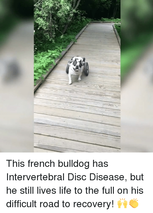 French Bulldogs: This french bulldog has Intervertebral Disc Disease, but he still lives life to the full on his difficult road to recovery! 🙌👏