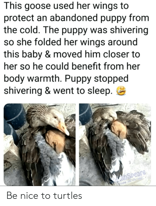 Puppy, Wings, and Cold: This goose used her wings  protect an abandoned puppy from  the cold. The puppy was shivering  so she folded her wings around  this baby & moved him closer to  her so he could benefit from her  body warmth. Puppy stopped  shivering & went to sleep  hSpeare Be nice to turtles