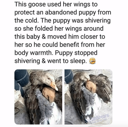 Puppy, Wings, and Cold: This goose used her wings to  protect an abandoned puppy from  the cold. The puppy was shivering  so she folded her wings around  this baby & moved him closer to  her so he could benefit from her  body warmth. Puppy stopped  shiverina & went to slee  p. E  Speare