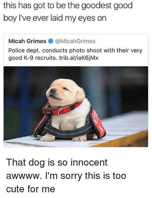 k-9: this has got to be the goodest good  boy I've ever laid my eyes on  Micah Grimes·@MicahGrimes  Police dept. conducts photo shoot with their very  good K-9 recruits. trib.al/iaK6jMx That dog is so innocent awwww. I'm sorry this is too cute for me
