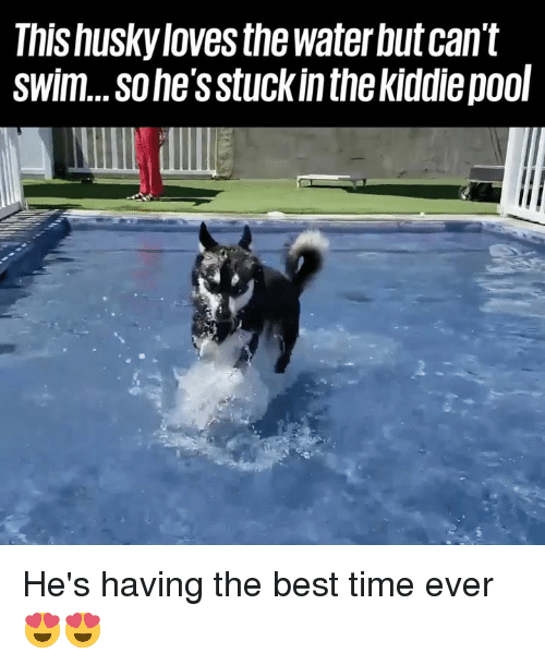 Dank, Best, and Husky: This husky loves the water but can't  swim...sohe's stuckin thekiddiepool He's having the best time ever 😍😍