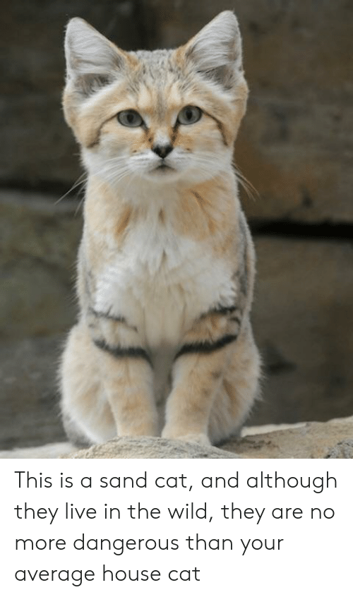 House, Live, and Wild: This is a sand cat, and although they live in the wild, they are no more dangerous than your average house cat