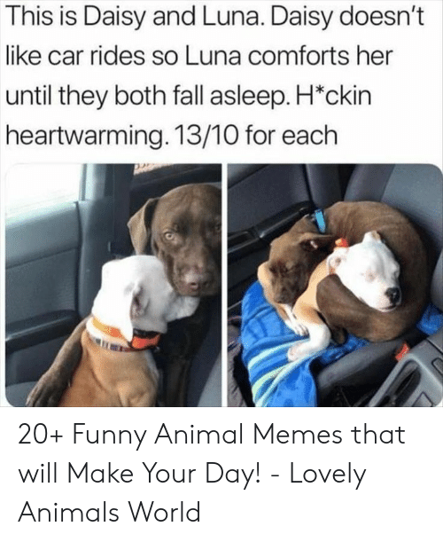 Rides: This is Daisy and Luna. Daisy doesn't  like car rides so Luna comforts her  until they both fall asleep. H*ckin  heartwarming. 13/10 for each 20+ Funny Animal Memes that will Make Your Day! - Lovely Animals World