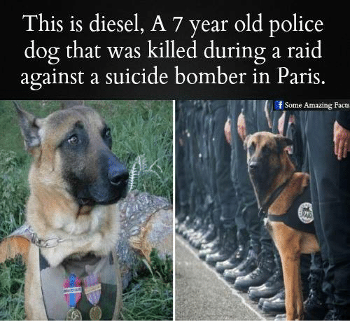 Suicide Bomber: This is diesel, A 7 year old police  dog that was killed during a raid  against a suicide bomber in Paris.  f Some Amazing Facts