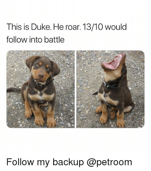 Funny, Duke, and Roar: This is Duke. He roar. 13/10 would  follow into battle Follow my backup @petroom