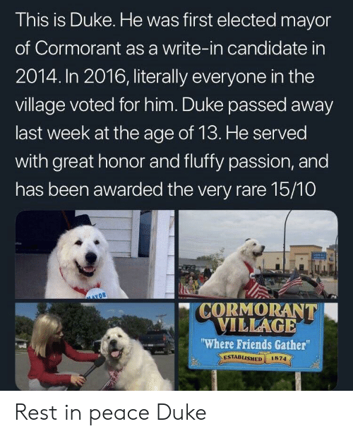"In 2016: This is Duke. He was first elected mayor  of Cormorant as a write-in candidate in  2014. In 2016, literally everyone in the  village voted for him. Duke passed away  last week at the age of 13. He served  with great honor and fluffy passion, and  has been awarded the very rare 15/10  "" CORMORANT  ILLAGE  Where Friends Gather""  ESTABLISHED 1874  el Rest in peace Duke"
