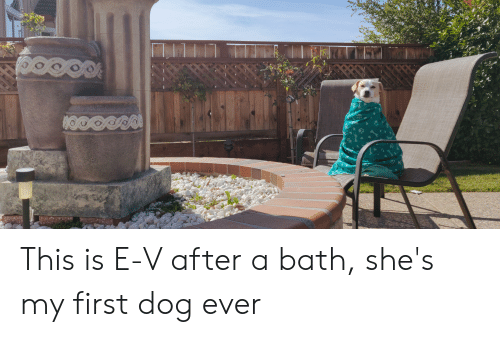 Dog, First, and Bath: This is E-V after a bath, she's my first dog ever
