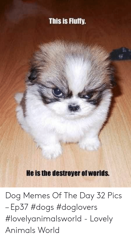Animals, Dogs, and Memes: This is Fluffy  He is the destroyer of worlds. Dog Memes Of The Day 32 Pics – Ep37 #dogs #doglovers #lovelyanimalsworld - Lovely Animals World