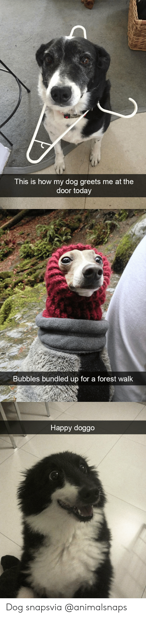 bubbles: This is how my dog greets me at the  door today   Bubbles bundled up for a forest walk   Happy doggo Dog snapsvia @animalsnaps