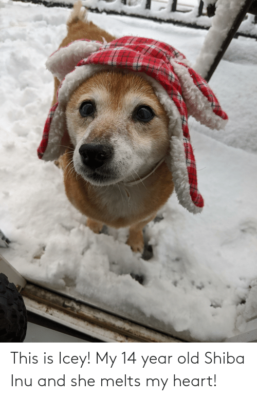 Shiba Inu: This is Icey! My 14 year old Shiba Inu and she melts my heart!