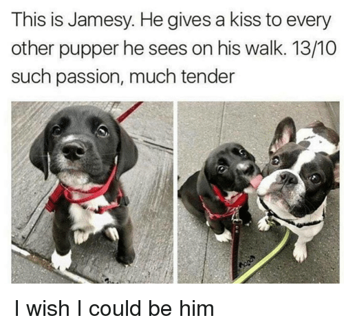 Kiss, Him, and Passion: This is Jamesy. He gives a kiss to every  other pupper he sees on his walk. 13/10  such passion, much tender I wish I could be him