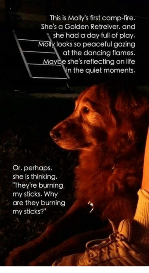 """camp fire: This is Molly's first camp-fire.  She's a Golden Retreiver, and  she had a day full of play.  Molly looks so peaceful gazing  at the dancing flames.  Maybe she's reflecting on life  in the quiet moments.  Or, perhaps  she is thinking,  They're burning  my sticks. Why  are they burning  my sticks?"""""""