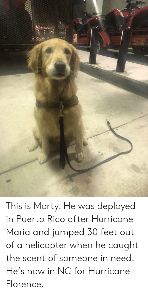 Puerto Rico: This is Morty. He was deployed in Puerto Rico after Hurricane Maria and jumped 30 feet out of a helicopter when he caught the scent of someone in need. He's now in NC for Hurricane Florence.