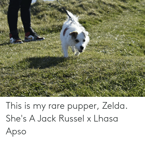 Zelda: This is my rare pupper, Zelda. She's A Jack Russel x Lhasa Apso