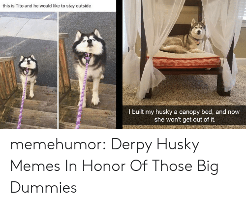Out Of It: this is Tito and he would like to stay outside  I built my husky a canopy bed, and now  she won't get out of it. memehumor:  Derpy Husky Memes In Honor Of Those Big Dummies