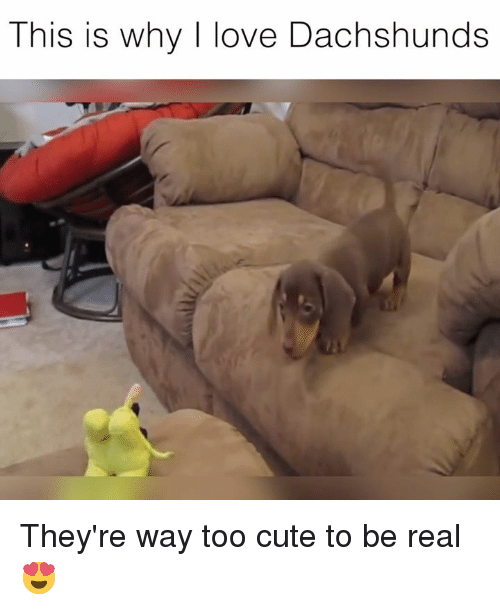 dachshunds: This is why I love Dachshunds They're way too cute to be real 😍