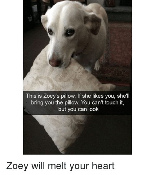 zoey: This is Zoey's pillow. If she likes you, she'll  bring you the pillow. You can't touch it,  but you can look Zoey will melt your heart