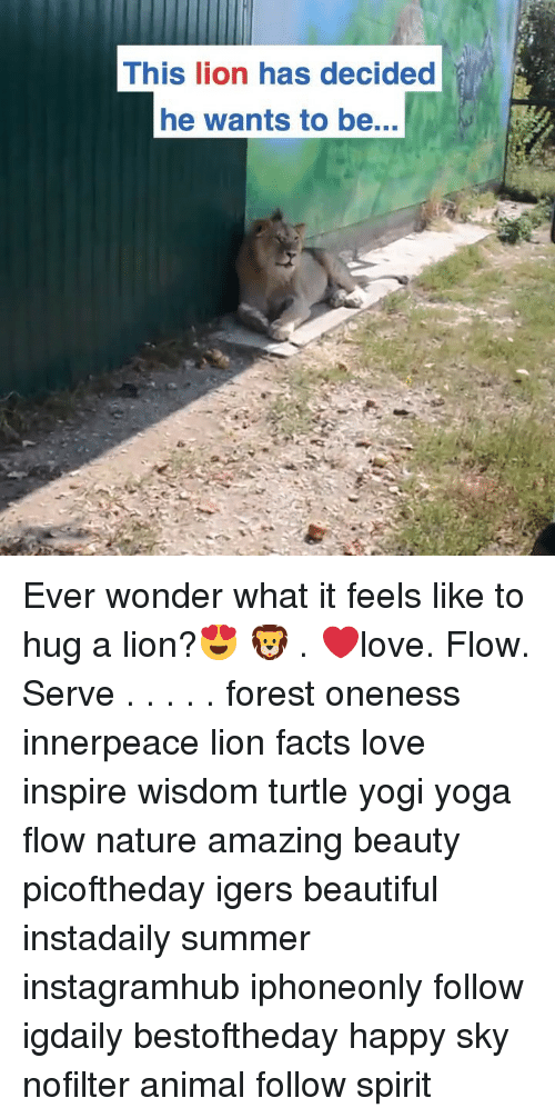 Beautiful, Facts, and Love: This lion has decided  he wants to be... Ever wonder what it feels like to hug a lion?😍 🦁 . ❤️love. Flow. Serve . . . . . forest oneness innerpeace lion facts love inspire wisdom turtle yogi yoga flow nature amazing beauty picoftheday igers beautiful instadaily summer instagramhub iphoneonly follow igdaily bestoftheday happy sky nofilter animal follow spirit