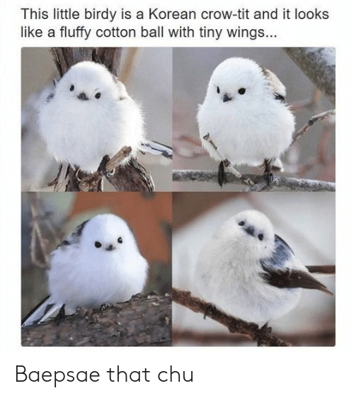 Baepsae: This little birdy is a Korean crow-tit and it looks  like a fluffy cotton ball with tiny wings... Baepsae that chu