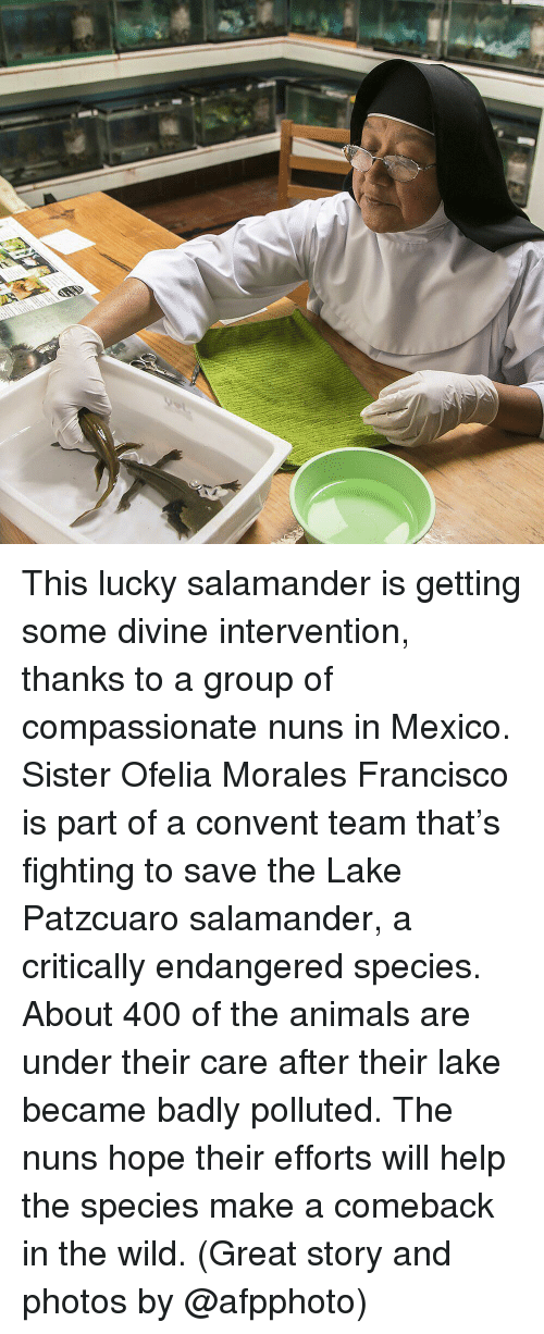 nuns: This lucky salamander is getting some divine intervention, thanks to a group of compassionate nuns in Mexico. Sister Ofelia Morales Francisco is part of a convent team that's fighting to save the Lake Patzcuaro salamander, a critically endangered species. About 400 of the animals are under their care after their lake became badly polluted. The nuns hope their efforts will help the species make a comeback in the wild. (Great story and photos by @afpphoto)